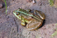 Green frog Royalty Free Stock Photos