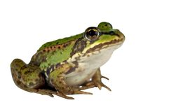 Green frog. On a white background Royalty Free Stock Photography