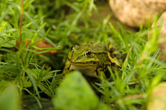 The green frog Royalty Free Stock Photography