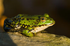 The green frog Stock Images