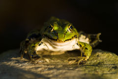 The green frog Royalty Free Stock Photo