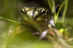 Green Frog. In Netherlands between the grass Royalty Free Stock Image