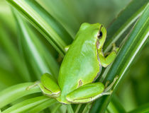 Green frog. Little green frog is hiding in the leaves Royalty Free Stock Photos