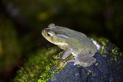 Green Frog. Night shot of a green frog Stock Images