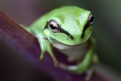 Green frog. An Australian Green Tree Frog - juvenile - Litoria caerulea - with big eyes sitting on a long broad green leaf Royalty Free Stock Photo