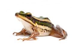 Free Green Frog Royalty Free Stock Photos - 32278938
