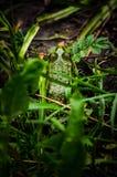 Green frog Royalty Free Stock Photo