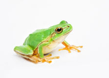Free Green Frog Royalty Free Stock Image - 40000526