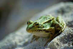 Green frog. About to jump over a stone near a pond Stock Photography