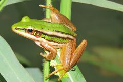 Free Green Frog Stock Photography - 97020022