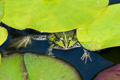 Green frog from above Royalty Free Stock Images