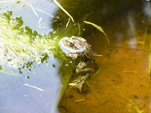 The Green Frog. The amphibian frog is ordinary. The Green Frog. The amphibian frog is ordinary Stock Photos