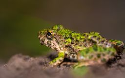 Green Frog Animal royalty free stock images