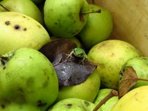 Green frog and apples Royalty Free Stock Photos