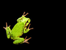 Green frog background. Green frog isolated on black background with space for text royalty free stock images