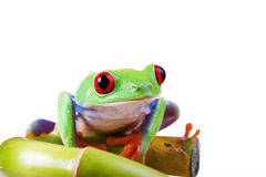 Green Frog on Bamboo Royalty Free Stock Photo