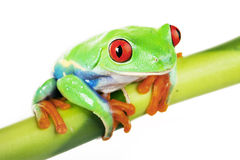 Green Frog on Bamboo Stock Image