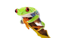 Green Frog on Banana Stock Image