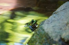 Green frog with black eyes in the green water royalty free stock photo