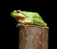 Green frog on branch Stock Image