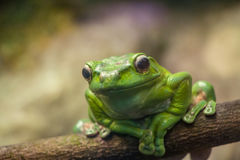 A green frog on a branch closeup. Macro of green frog on a branch Stock Images
