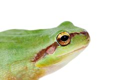Green frog with bulging eyes golden. Isolated on white background Royalty Free Stock Image