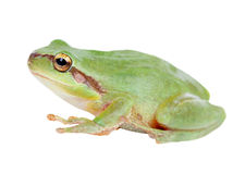 Green frog with bulging eyes golden Royalty Free Stock Photography