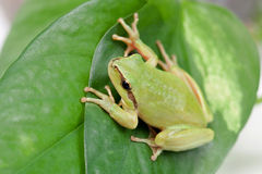Green frog with bulging eyes golden Stock Images