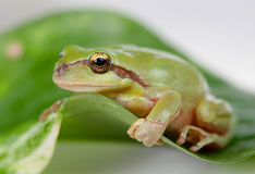Green frog with bulging eyes golden Royalty Free Stock Photo