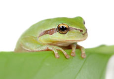 Green frog with bulging eyes golden on a leaf Stock Image