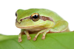 Green frog with bulging eyes golden on a leaf Stock Photography