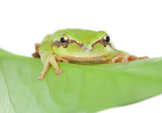 Green frog with bulging eyes golden on a leaf Stock Photos