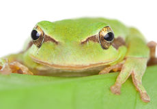 Green frog with bulging eyes golden on a leaf Royalty Free Stock Photography