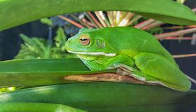 Green frog camouflaged. In garden plants Stock Images
