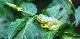Green frog on chilli bush Stock Image