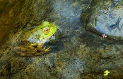 Green Frog. Close-up of frog on rocks half submerged on a pond`s edge stock images