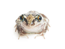 Green frog close-up Royalty Free Stock Photography