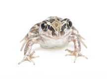 Green frog close-up Royalty Free Stock Images