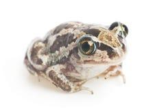 Green frog close-up Stock Photo