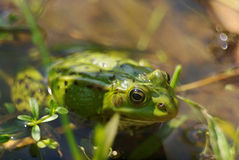 Green frog closeup portrait. In summer time stock photos