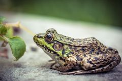 Green frog closeup on rock next to small leaf stock photography