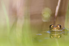 Green frog or common frog Stock Image