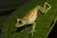 Green Frog, Ecuador. Amazon basin, Kapawi, close to Peru Stock Photos