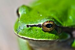 Green frog eyes Stock Image