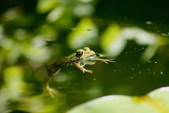 Green frog floating in a pond royalty free stock photography