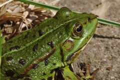 Green Frog Focus Photography Royalty Free Stock Photos