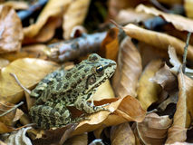 Green Frog at the Forest Ground Royalty Free Stock Image
