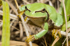 Green frog. Green forg on a field Stock Photos