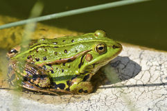 Green frog. Stock Images