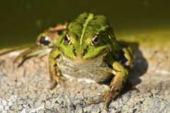 Green frog. Royalty Free Stock Image